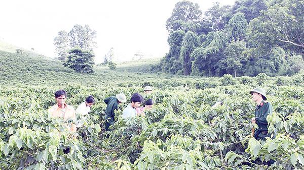 Cà phê Khe Sanh mong vốn tái canh