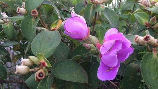 Hoa mua - loài hoa gây thương nhớ