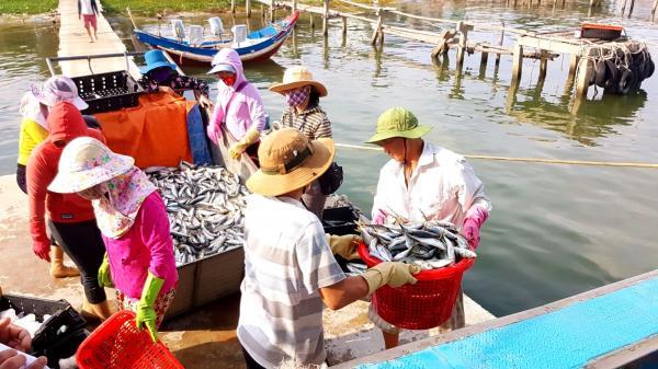 Gio Linh: Ngư dân trúng mẻ cá nục 8 tấn