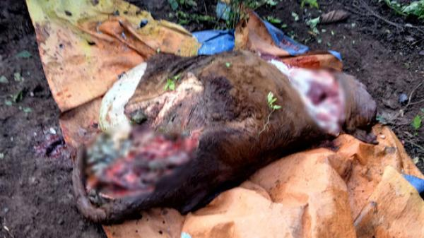 Bò bị cắt 4 chân ở Quảng Trị: Nghi một nhóm trộm làm nhiều vụ