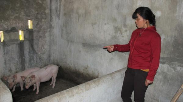 Quảng Trị: Lợn giống cấp cho dân để giảm nghèo bất ngờ ch.ết hàng loạt