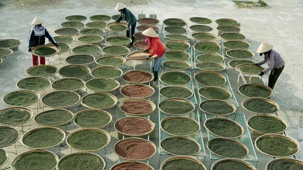 Mùa thu hoạch tiêu ở Quảng Trị