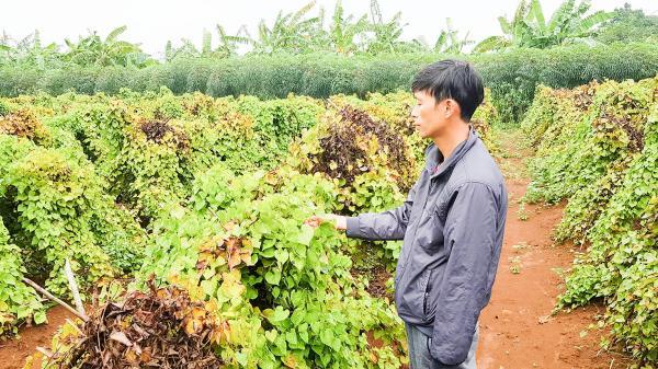 Gio Linh: Trồng khoai từ lãi 100 triệu đồng/ha