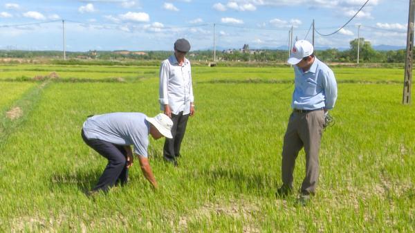 Hơn 100 ha lúa vụ hè thu ở huyện Cam Lộ có nguy cơ mất trắng