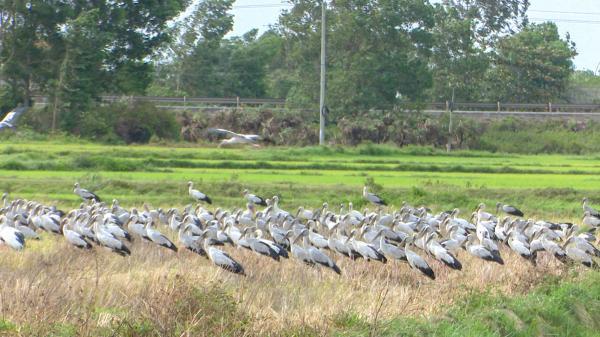 Xuất hiện đàn chim lạ hàng nghìn con tại Cam Lộ