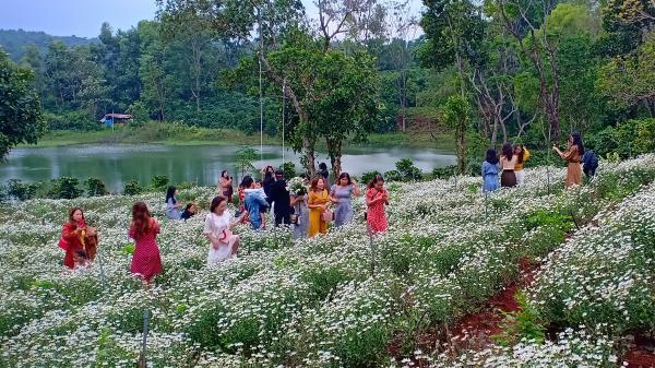 Có một mùa Cúc Họa Mi thu hút du khách đến Hướng Hóa như thế!