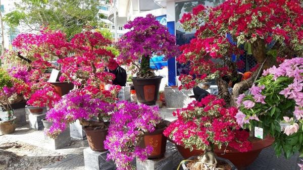 """Những gốc hoa giấy giá hàng chục triệu """"đẹp ngẩn ngơ"""" tại chợ hoa Tết Huế, Quảng Trị"""