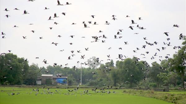 Nghìn con chim quý di cư đến kiếm ăn trên cánh đồng ở Quảng Trị
