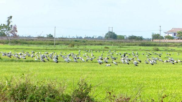 Cam Lộ: Tăng cường bảo vệ đàn cò nhạn