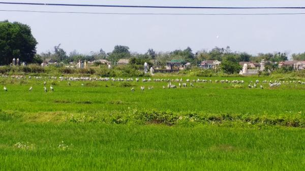 Triệu Phong xuất hiện đàn chim lạ trên đồng ruộng