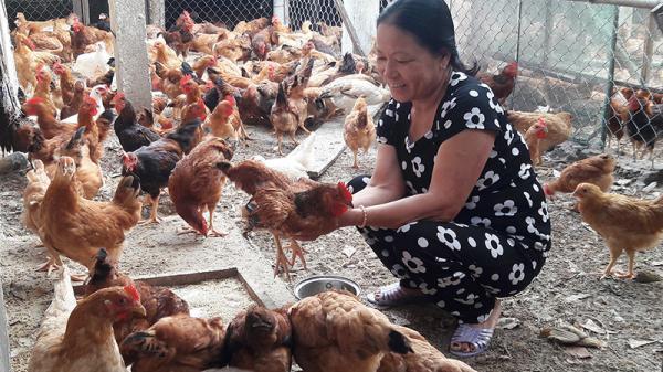 Quảng Trị: Thu nhập cao từ nuôi gà ta