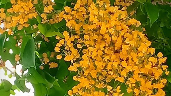 Có một mùa hoa sưa dịu dàng nhuộm vàng Quảng trường giải phóng ở Quảng Trị
