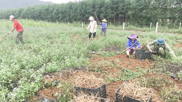 Cam Lộ trồng cây sâm Bố Chính cho hiệu quả cao