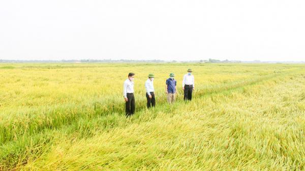 Xây dựng Gạo sạch Triệu Phong trở thành sản phẩm đặc trưng của huyện