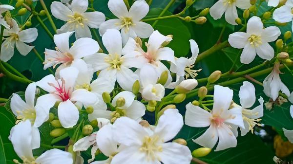 Mùa hoa trẩu về giữa tháng tư ở miền Tây Quảng Trị đong đầy niềm thương nỗi nhớ!