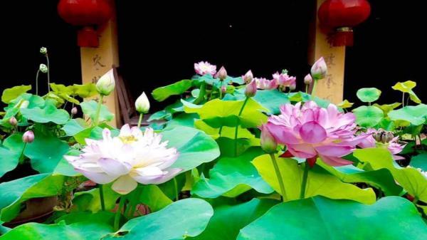 Bí quyết trồng, chăm sóc sen Cung Đình trong chậu cho hoa nở quanh năm đều và đẹp