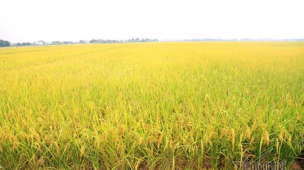 Vĩnh Linh: Mô hình lúa CSA cho năng suất đến 60 tạ/ha