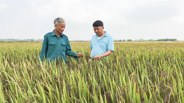 Triển vọng từ giống lúa hữu cơ thảo dược tím ở Quảng Trị