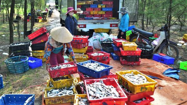 Ngư dân Gio Linh trúng đậm cá trích, mực và ruốc