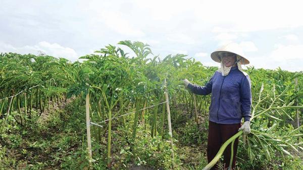 Quảng Trị: Lạ, nông dân khoái trồng loài cây nưa, trước là thức ăn cho nhà nghèo nay là của hiếm, ăn là nghiện