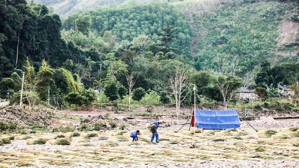 Mưu sinh với đót rừng của người dân huyện miền núi Đakrông, Hướng Hóa
