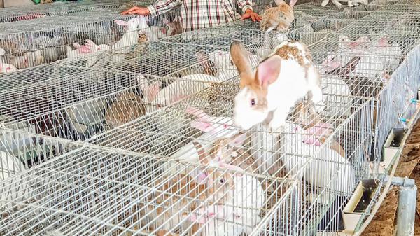Lập nghiệp với mô hình nuôi thỏ của thanh niên huyện Triệu Phong