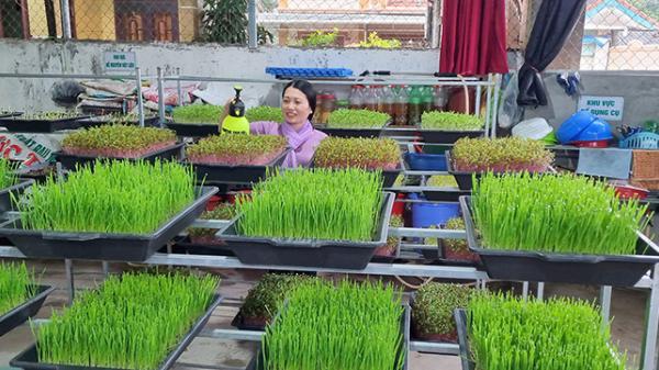 Đông Hà: Thu nhập khá từ sản xuất rau mầm sạch