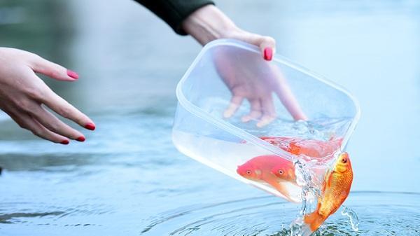 'Không nên thả cá chép ngày ông Công, ông Táo'
