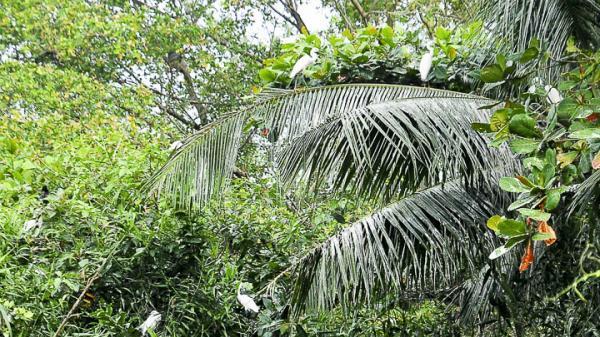 Vườn cò Sáu Sôm và những giai thoại về miếu Bà Chúa Xứ ở Sóc Trăng
