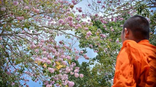 Sóc Trăng: Hoa kèn hồng rực rỡ ngày xuân ở chùa Pô Thi Thlâng