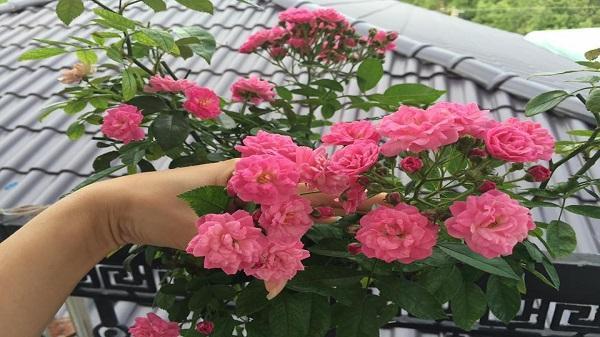 Ban công nhỏ xinh thơm ngát hoa hồng của bà mẹ 2 con ở Sóc Trăng