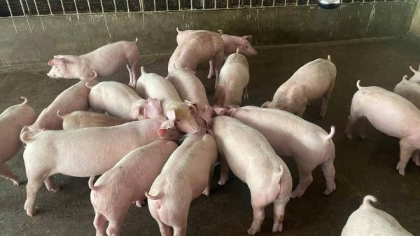 Giá lợn hơi ngày 21/9/2021: Giải pháp giúp người chăn nuôi tái đàn lợn phục vụ Tết Nguyên đán