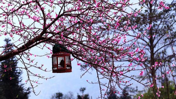 HOT: Đừng bỏ lỡ cơ hội check-in ngày hội hoa đào cực đẹp chỉ có ở Tây Bắc