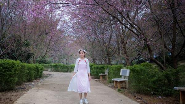 """Góc """"sống ảo"""" ở Mộc Châu: Hàng hoa anh đào rực rỡ trong công viên Pha Luông"""