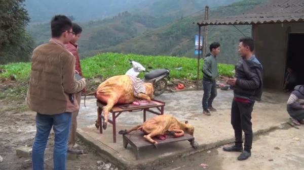 Người dân Tây Bắc điêu đứng vì rét hại khiến trâu bò chết hàng loạt