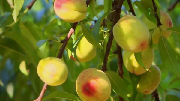 Vườn đào trĩu quả hút khách du lịch đến Mộc Châu