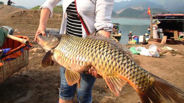 Nhiều loài cá đặc sản ở chợ cá vùng núi Tây Bắc