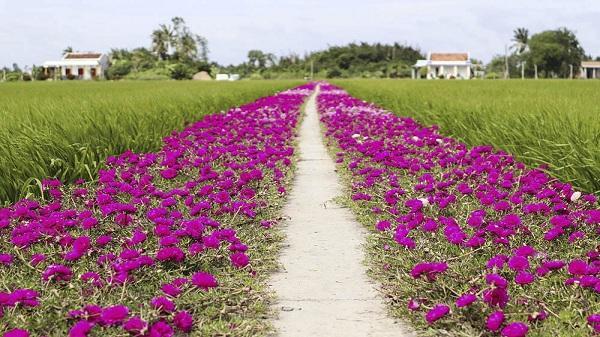 Con đường ngập sắc tím hoa mười giờ đẹp hơn trong tranh khiến nhiều người xuýt xoa