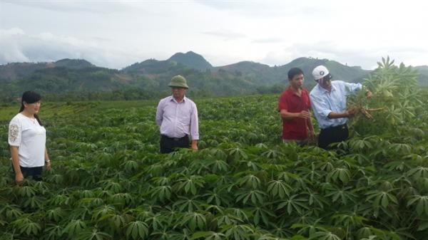 Phát triển mô hình thâm canh sắn bền vững tại Sơn La