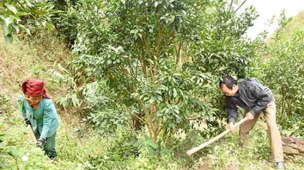 Sốp Cộp nhân rộng diện tích trồng cây ăn quả trên đất dốc
