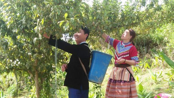 Si Ma Cai (Lào Cai): 50 ha mận Tả van vào vụ thu hoạch