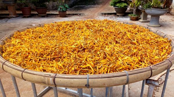 Hoa kim châm - đặc sản mùa hè vùng núi Lào Cai giá nửa triệu đồng một kg vẫn 'c.háy hàng'