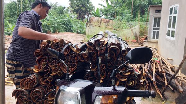 Lào Cai: Giá thu mua vỏ quế khô tăng cao