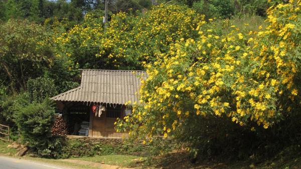 Đắm say mùa hoa dã quỳ đẹp lung linh trong nắng vàng Lai Châu
