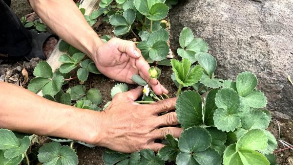 Tây Ninh: Ngắm vườn dâu tây ở Ma Thiên Lãnh
