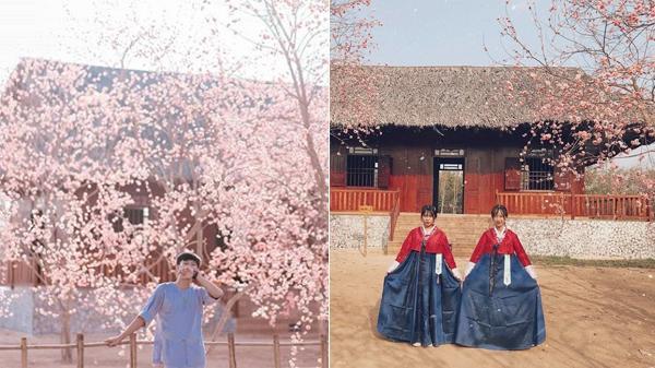 Bạn có hẹn với vườn hoa anh đào đẹp như Hàn Quốc ngay tại Thủy Hoa Viên ở Tây Ninh