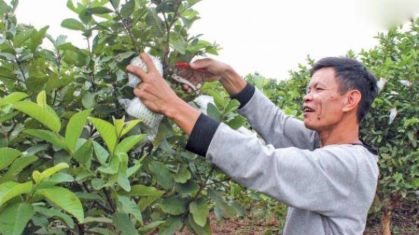 """Thái Bình: Gặp anh nông dân khiến đất """"nhả vàng"""""""