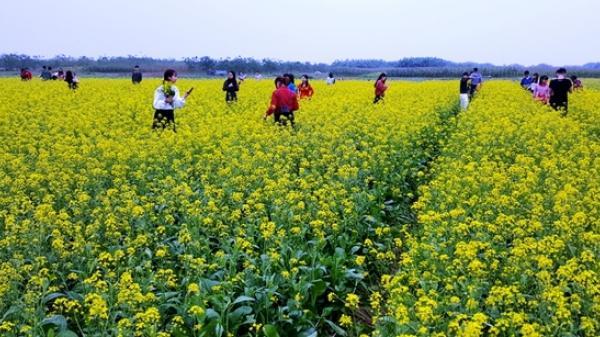 Mê mẩn sắc vàng của cánh đồng hoa cải ở Thái Bình nở rộ rợp trời  dịp lễ tết