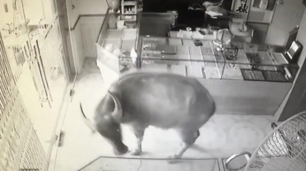 """Thái Nguyên: Một con trâu lao vào """"cướp"""" tiệm vàng, chủ nhà chạy toán loạn còn dân mạng thì cười rơi mồm"""