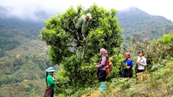 Hà Giang: Thu nhập gần 60 triệu đồng/ha chè Shan tuyết